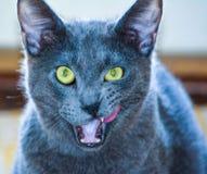 Γκρίζα γάτα στοκ φωτογραφία με δικαίωμα ελεύθερης χρήσης