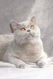 Γκρίζα γάτα Στοκ Φωτογραφία