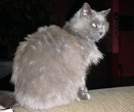 Γκρίζα γάτα στοκ εικόνα