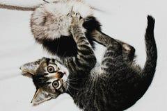 Γκρίζα γάτα στοκ φωτογραφίες