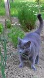 Γκρίζα γάτα Στοκ εικόνες με δικαίωμα ελεύθερης χρήσης