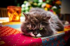 Γκρίζα γάτα Perser με τα πράσινα μάτια Στοκ Εικόνες