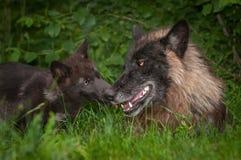 Γκρίζα γλειψίματα Λύκου Canis κουταβιών λύκων στο μαύρο αντιμέτωπο λύκο Στοκ Φωτογραφίες