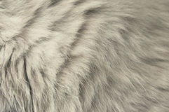 Γκρίζα γούνα γατών Στοκ Εικόνες