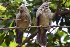 Γκρίζα επενδυμένα με φτερά πουλιά Στοκ Φωτογραφία