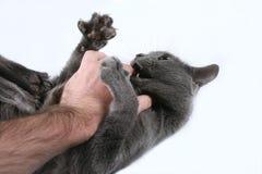 Γκρίζα επιθετικά δαγκώματα γατών το χέρι στοκ φωτογραφίες