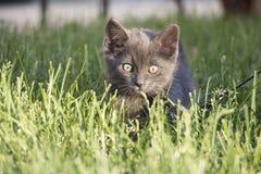 Γκρίζα εσωτερική σύντομη συνεδρίαση γατακιών τρίχας στη χλόη που εξετάζει τη κάμερα Στοκ φωτογραφία με δικαίωμα ελεύθερης χρήσης