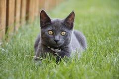 Γκρίζα εσωτερική σύντομη συνεδρίαση γατακιών τρίχας στη χλόη που εξετάζει τη κάμερα Στοκ Εικόνα
