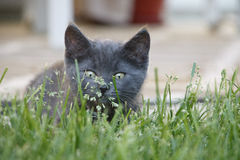 Γκρίζα εσωτερική σύντομη συνεδρίαση γατακιών τρίχας στο μυρίζοντας λουλούδι χλόης Στοκ εικόνες με δικαίωμα ελεύθερης χρήσης