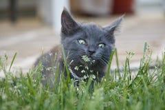 Γκρίζα εσωτερική σύντομη συνεδρίαση γατακιών τρίχας στο μυρίζοντας λουλούδι χλόης Στοκ εικόνα με δικαίωμα ελεύθερης χρήσης