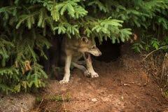 Γκρίζα εσώρουχα Λύκου Canis κουταβιών λύκων κάτω από το πεύκο Στοκ Εικόνες