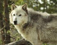 Γκρίζα διακοπή λύκων Στοκ εικόνα με δικαίωμα ελεύθερης χρήσης