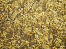 Γκρίζα ιτιά Salix φαιάς ουσίας στοκ φωτογραφία με δικαίωμα ελεύθερης χρήσης