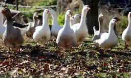 Γκρίζα και άσπρα εσωτερικά gooses στο φάρμα πουλερικών Στοκ Εικόνες