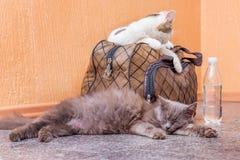 Γκρίζα και άσπρη γάτα με τη βαλίτσα και ένα μπουκάλι νερό Αναμονή το τραίνο στο σταθμό τρένου Επιβάτης με μια βαλίτσα ενώ στοκ εικόνες