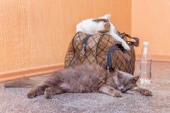 Γκρίζα και άσπρη γάτα με τη βαλίτσα και ένα μπουκάλι νερό Αναμονή το τραίνο στο σταθμό τρένου Επιβάτης με μια βαλίτσα ενώ στοκ φωτογραφίες