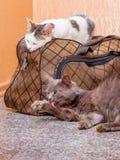 Γκρίζα και άσπρη γάτα με τη βαλίτσα Αναμονή το τραίνο στο σταθμό τρένου Επιβάτες με μια βαλίτσα ενώ traveling_ στοκ εικόνες με δικαίωμα ελεύθερης χρήσης