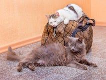 Γκρίζα και άσπρη γάτα με τη βαλίτσα Αναμονή το τραίνο στο σταθμό τρένου Επιβάτες με μια βαλίτσα ενώ traveling_ στοκ εικόνες