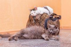 Γκρίζα και άσπρη γάτα με τη βαλίτσα Αναμονή το τραίνο στο σταθμό τρένου Επιβάτες με μια βαλίτσα ενώ traveling_ στοκ εικόνα