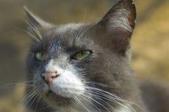 Γκρίζα και άσπρη γάτα που ανατρέχει στοκ φωτογραφίες με δικαίωμα ελεύθερης χρήσης