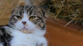 Γκρίζα και άσπρη γάτα που χασμουριέται και που χαλαρώνει φιλμ μικρού μήκους