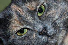 Γκρίζα κινηματογράφηση σε πρώτο πλάνο ματιών γατών πράσινη Στοκ φωτογραφία με δικαίωμα ελεύθερης χρήσης