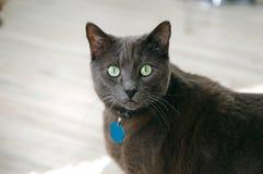Γκρίζα κοντή γάτα τρίχας με τα πράσινα μάτια στοκ εικόνες