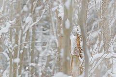 Γκρίζα κουκουβάγια Ural, uralensis Strix, που κάθεται στον κλάδο δέντρων, που κρύβεται στο χειμερινό δασικό όμορφο πουλί στο βιότ στοκ εικόνες