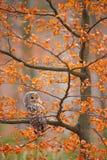 Γκρίζα κουκουβάγια Ural, uralensis Strix, που κάθεται στον κλάδο δέντρων, στο πορτοκαλί δάσος φθινοπώρου φύλλων δρύινο, πουλί στο στοκ φωτογραφίες