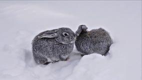 Γκρίζα κουνέλια που περπατούν στο άσπρο χιόνι απόθεμα βίντεο