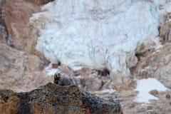 Γκρίζα μαρμότα στους βράχους ενάντια στον παγετώνα Στοκ Φωτογραφίες
