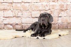 Γκρίζα, μαύρη και καφετιά φυλή Neapolitana Mastino κουταβιών Χειριστές σκυλιών που εκπαιδεύουν τα σκυλιά από την παιδική ηλικία Στοκ Φωτογραφίες