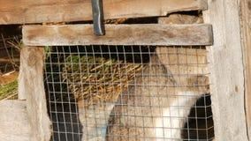 Γκρίζα μεγάλη συνεδρίαση κουνελιών σε ένα κλουβί σε ένα χωριό απόθεμα βίντεο