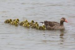 Γκρίζα οικογένεια χήνων anser anser με πολλά χηνάρια που κολυμπούν στο W Στοκ Φωτογραφία