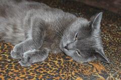 Γκρίζα ομαλός-μαλλιαρή γάτα που βρίσκεται στον καναπέ Κινηματογράφηση σε πρώτο πλάνο Στοκ Εικόνα