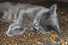 Γκρίζα ομαλός-μαλλιαρή γάτα που βρίσκεται στον καναπέ Κινηματογράφηση σε πρώτο πλάνο Στοκ Φωτογραφίες