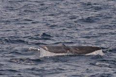 Γκρίζα ουρά φαλαινών Στοκ εικόνες με δικαίωμα ελεύθερης χρήσης
