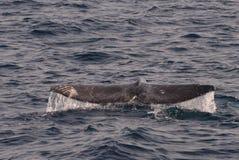 Γκρίζα ουρά φαλαινών Στοκ φωτογραφίες με δικαίωμα ελεύθερης χρήσης