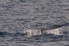Γκρίζα ουρά φαλαινών Στοκ Εικόνα