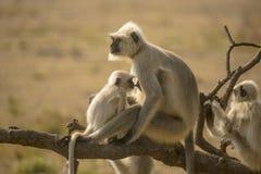 Γκρίζα περιποίηση Langur μωρών σε Mom στοκ εικόνες με δικαίωμα ελεύθερης χρήσης