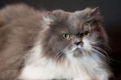 Γκρίζα περσική γάτα Στοκ Φωτογραφίες