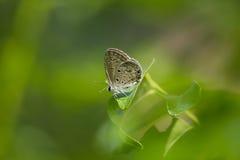 Γκρίζα πεταλούδα σε ένα φύλλο Στοκ Φωτογραφία