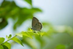 Γκρίζα πεταλούδα σε ένα φύλλο Στοκ εικόνα με δικαίωμα ελεύθερης χρήσης