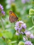 Γκρίζα πεταλούδα Pansy Στοκ Φωτογραφίες