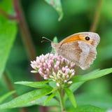 Γκρίζα πεταλούδα Pansy Στοκ Εικόνες