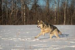 Γκρίζα πηδήματα Λύκου Canis λύκων που αφήνονται το χειμώνα τομέων στοκ εικόνες