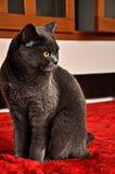 γκρίζα πολυτέλεια γατών στοκ εικόνες με δικαίωμα ελεύθερης χρήσης