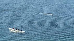 Γκρίζα προσοχή φαλαινών στοκ εικόνα