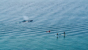 Γκρίζα προσοχή φαλαινών στοκ εικόνες