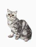 Γκρίζα ριγωτή γάτα επάνω Στοκ Εικόνες